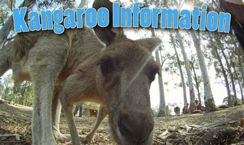 Kangaroo Information And Facts For Kids