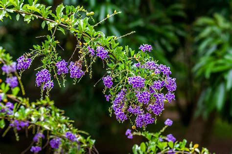 Duranta Plant: Care and Growing Guide