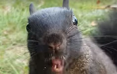 MICHIGAN'S BLACK SQUIRRELS: Evil, Alien or Otherwise?