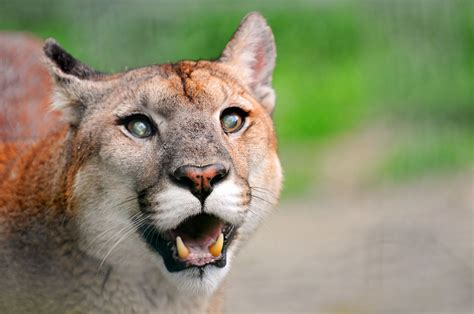 Funny looking puma | One of the pumas of the Raubtierpark