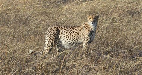 Securing large carnivores and their prey in Kafue National