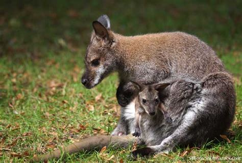 Australian Animals List, With Pictures, Facts & Information