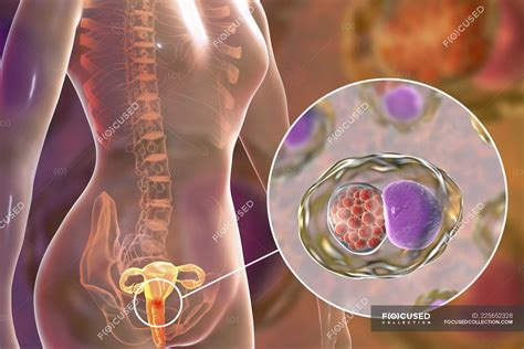 Digital illustration of female reproductive system and