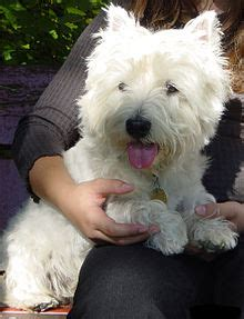 West Highland White Terrier - Simple English Wikipedia