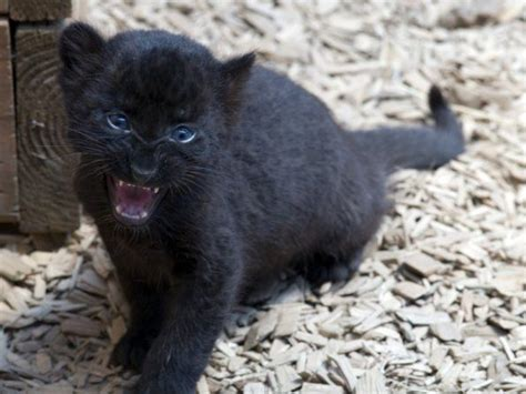 """Baby Black Panther 