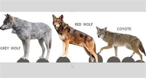 WNC Nature Center welcomes new red wolves | The City of