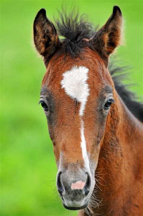 Portrait of a cute foal | This is a (maybe 2 month old