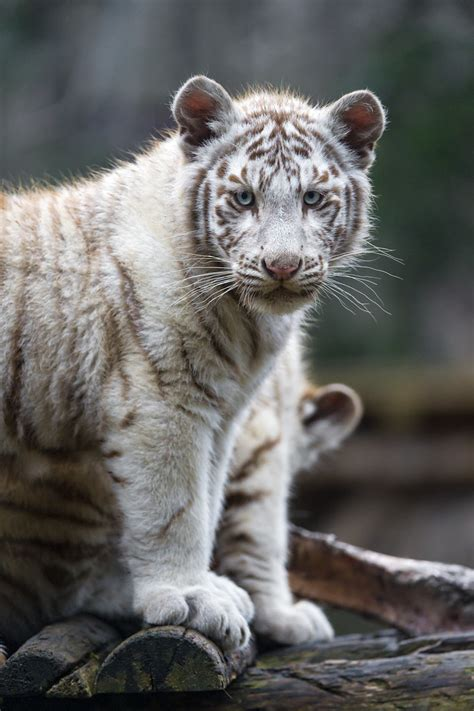 Posing cute white tiger cub | Another one of the white